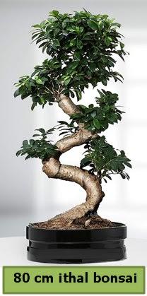 80 cm özel saksıda bonsai bitkisi  İstanbul Ümraniye çiçekçi telefonları