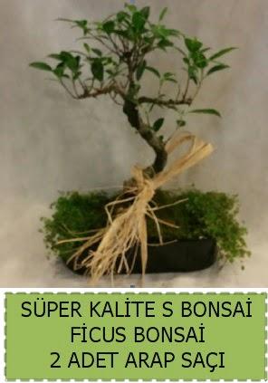 Ficus S Bonsai ve arap saçı  İstanbul Ümraniye çiçekçi telefonları