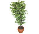 Ficus özel Starlight 1,75 cm   İstanbul Ümraniye cicek , cicekci