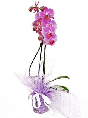 İstanbul Ümraniye anneler günü çiçek yolla  Kaliteli ithal saksida orkide