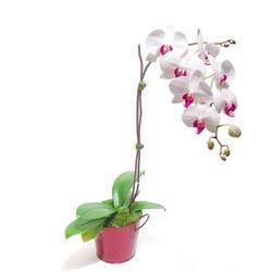 İstanbul Ümraniye çiçek gönderme  Saksida orkide