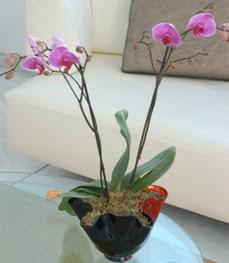 İstanbul Ümraniye çiçekçi mağazası  tek dal ikili orkide saksi çiçegi