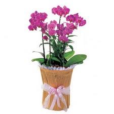İstanbul Ümraniye çiçek siparişi vermek  saksi iiçerisinde 3 dal orkide