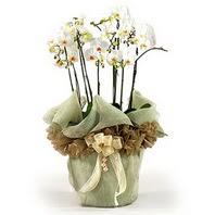 İstanbul Ümraniye çiçek siparişi sitesi  3 dal orkide , saksi çiçegi , 3 kök orkide