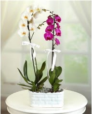 1 dal beyaz 1 dal mor yerli orkide saksıda  İstanbul Ümraniye çiçek servisi , çiçekçi adresleri