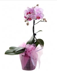 1 dal pembe orkide saksı çiçeği  İstanbul Ümraniye kaliteli taze ve ucuz çiçekler