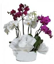 4 dal mor orkide 2 dal beyaz orkide  İstanbul Ümraniye anneler günü çiçek yolla