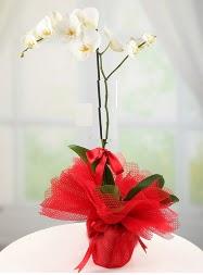 1 dal beyaz orkide saksı çiçeği  İstanbul Ümraniye yurtiçi ve yurtdışı çiçek siparişi