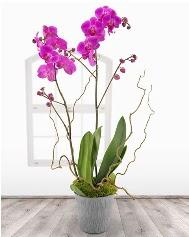 2 dallı mor orkide saksı çiçeği  İstanbul Ümraniye ucuz çiçek gönder