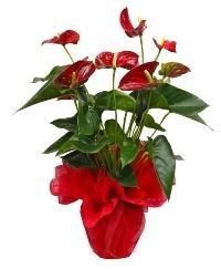 Görsel antoryum saksı çiçeği  İstanbul Ümraniye online çiçek gönderme sipariş