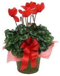 Sılkamen saksı çiçeği  İstanbul Ümraniye yurtiçi ve yurtdışı çiçek siparişi