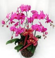 6 Dallı mor orkide çiçeği  İstanbul Ümraniye anneler günü çiçek yolla