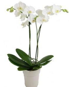 2 dallı beyaz orkide  İstanbul Ümraniye uluslararası çiçek gönderme