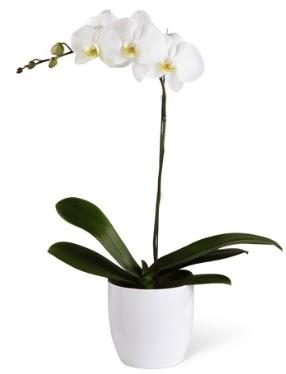 1 dallı beyaz orkide  İstanbul Ümraniye 14 şubat sevgililer günü çiçek