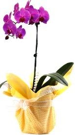 İstanbul Ümraniye çiçek siparişi sitesi  Tek dal mor orkide saksı çiçeği