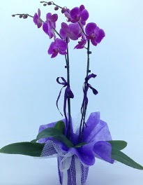 2 dallı mor orkide  İstanbul Ümraniye kaliteli taze ve ucuz çiçekler