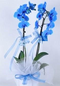 2 dallı mavi orkide  İstanbul Ümraniye internetten çiçek satışı