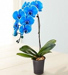 1 dallı süper eşsiz mavi orkide  İstanbul Ümraniye çiçek mağazası , çiçekçi adresleri