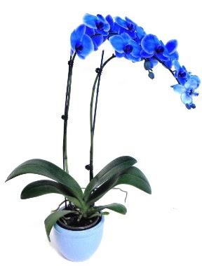 Seramikli 2 dallı süper eşsiz mavi orkide  İstanbul Ümraniye çiçek servisi , çiçekçi adresleri