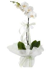 1 dal beyaz orkide çiçeği  İstanbul Ümraniye çiçek siparişi vermek