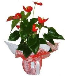 Antoryum saksı iç mekan süs bitkisi  İstanbul Ümraniye çiçek servisi , çiçekçi adresleri