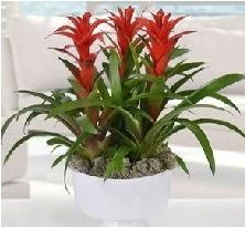 3 lü Guzmanya saksı çiçek bitkisi  İstanbul Ümraniye 14 şubat sevgililer günü çiçek