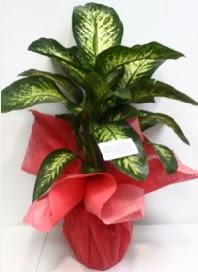 Büyük boy Difenbahya Saksı bitkisi 90 cm 1.10 cm  İstanbul Ümraniye internetten çiçek siparişi