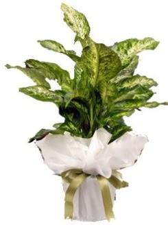 Difenbahya Mars Küçük boy  İstanbul Ümraniye çiçek servisi , çiçekçi adresleri