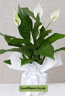 Spatifilyum Orta boy Saksı çiçeği  İstanbul Ümraniye anneler günü çiçek yolla