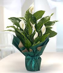 Spatifilyum Barış çiçeği Büyük boy  İstanbul Ümraniye çiçek servisi , çiçekçi adresleri