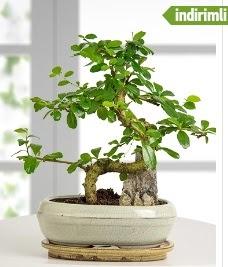 S şeklinde ithal gerçek bonsai japon ağacı  İstanbul Ümraniye internetten çiçek satışı