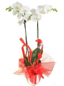 2 dallı beyaz orkide bitkisi  İstanbul Ümraniye uluslararası çiçek gönderme