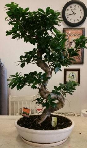 100 cm yüksekliğinde dev bonsai japon ağacı  İstanbul Ümraniye İnternetten çiçek siparişi