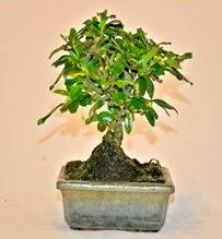 Zelco bonsai saksı bitkisi  İstanbul Ümraniye çiçek servisi , çiçekçi adresleri