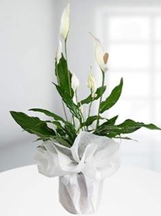 Spathiphyllum Çiçeği Barış çiçeği  İstanbul Ümraniye anneler günü çiçek yolla