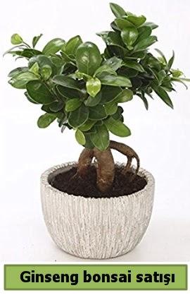 Ginseng bonsai japon ağacı satışı  İstanbul Ümraniye çiçekçi telefonları
