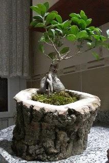 Ahşap kütük içerisinde ginseng bonsai  İstanbul Ümraniye internetten çiçek siparişi