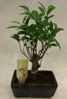 Japon ağacı bonsai bitkisi satışı  İstanbul Ümraniye çiçekçi telefonları