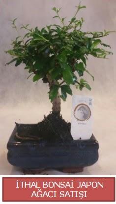 İthal küçük boy minyatür bonsai ağaç bitkisi  İstanbul Ümraniye çiçekçi telefonları