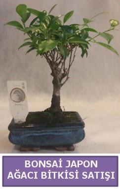 İthal Bonsai japon ağacı bitkisi satışı  İstanbul Ümraniye İnternetten çiçek siparişi