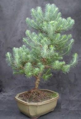 Bonsai çam ağacı japon ağacı bitkisi  İstanbul Ümraniye çiçek gönderme sitemiz güvenlidir