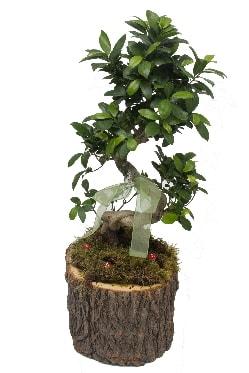 Doğal kütükte bonsai saksı bitkisi  İstanbul Ümraniye İnternetten çiçek siparişi