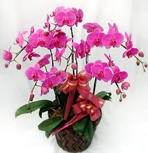 Sepet içerisinde 5 dallı lila orkide  İstanbul Ümraniye ucuz çiçek gönder