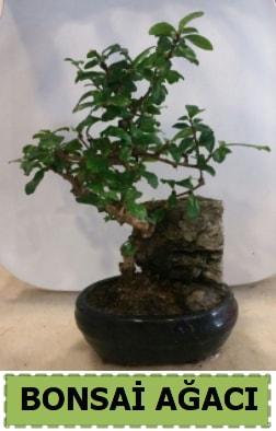 Bonsai ağacı japon ağacı satışı  İstanbul Ümraniye hediye çiçek yolla