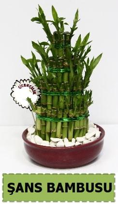 Şans piramit bambu saksı bitkisi  İstanbul Ümraniye çiçek satışı