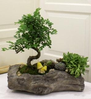 Ağaç kütük içerisinde bonsai ve sukulent  İstanbul Ümraniye çiçek gönderme sitemiz güvenlidir