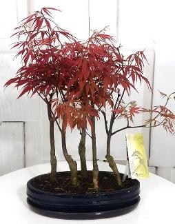 5 adet japon akçaağaç bonsai çiçeği  İstanbul Ümraniye çiçek satışı