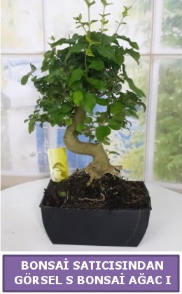 S dal eğriliği bonsai japon ağacı  İstanbul Ümraniye çiçek satışı