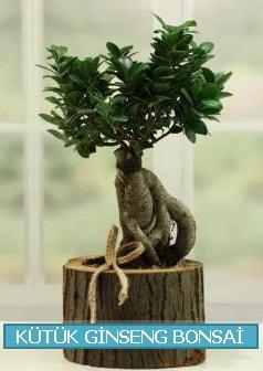 Kütük ağaç içerisinde ginseng bonsai  İstanbul Ümraniye çiçek gönderme sitemiz güvenlidir