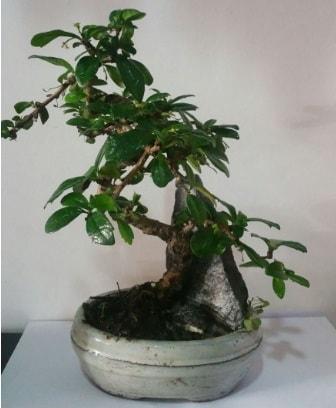 S şeklinde ithal bonsai ağacı  İstanbul Ümraniye çiçek yolla